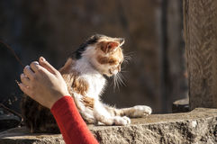 Hand caressing kitten Royalty Free Stock Image