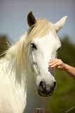 Hand caressing a white horse head from Camargue Stock Photo