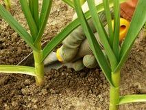 Hand caring garlic Stock Images