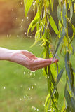 Hand catching water droplets from weeping willow Stock Photos