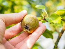 Hand of a caucasian person harvesting pear Royalty Free Stock Images