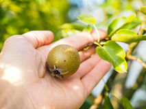 Hand of a caucasian person harvesting pear Stock Photography