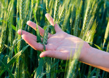 Hand and cereal crops Stock Images