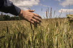 Hand in cereals. Man hand in the cereals Royalty Free Stock Images