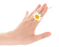 Hand with chamomile Stock Image