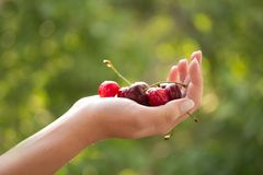 Hand with cherries Stock Image