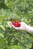 Hand with cherries Royalty Free Stock Images