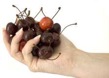 Hand and cherries. Delicate woman hand with white french nails, holds a lot of deep red cherries stock image