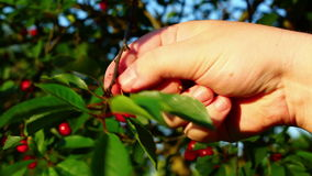 Hand with cherries stock footage