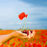 Hand with cherry and poppy Royalty Free Stock Image