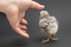 Hand and chick Royalty Free Stock Photography