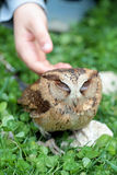 Hand of a child fondling a sunda scops owl Royalty Free Stock Images