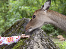 Hand of a child by giving food to a deer. Close encounters: fallow deer (Dama dama, female) taking food from the hand of a girl Royalty Free Stock Photo
