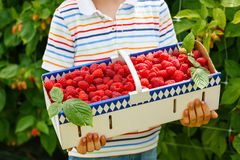 Hand of child holding basket with fresh rasberries Stock Photos