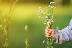 The hand of child holding wild flowers. Stock Photos