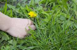 Hand of a child picking a dandelion flower. Condolence or sympathy design with dandelion flower and flying seed Royalty Free Stock Image