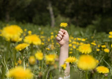 Hand of child and spring meadow Stock Image