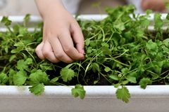 Hand of a child with sprouted cilantro seed. stock photography