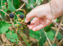 A hand of Children picking wild blackberries stock images