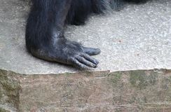 A hand of a Chimpanzee. Resting in the open Royalty Free Stock Photos