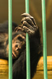 Hand of a chimpanzee monkey holding bar of his cage Royalty Free Stock Photo