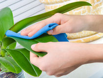Hand cleaning plant by wet sponge Royalty Free Stock Images