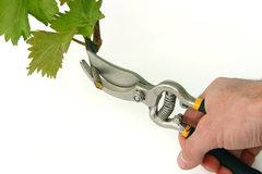 Hand with clippers and vine cutting Royalty Free Stock Photo