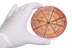 Hand in clove with petri dish. Hand in glove holding petri dish with bacteria culture Royalty Free Stock Image