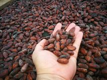 Hand and cocoa beans. The chocolat in process. The beginning of the sweet chocolat in the hand of a man who cares every detail of the process of fermentacion Royalty Free Stock Image