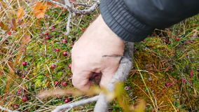 Hand collecting cranberries in the forest. 1080 stock video footage