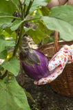 Hand collecting eggplant Stock Photos