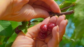 Hand collects ripe cherries from a tree branch