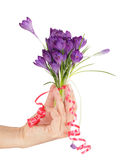 Hand and Crocus Royalty Free Stock Photography