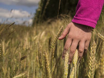 Hand in crops. Woman hand touch gold crops Stock Images