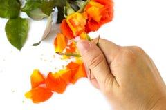 Hand crushing orange roses on white background. Royalty Free Stock Images