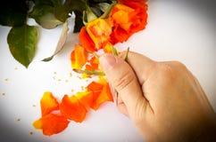Hand crushing orange roses on white background. Royalty Free Stock Photo