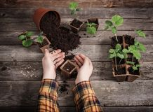 Hand and cucumber seedlings on  wooden table stock image