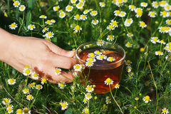 Hand with cup of herbal tea and chamomile Stock Image