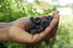 Black Raspberries In Hand royalty free stock photography