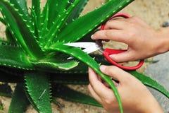 hand cut aloe leaf Stock Images