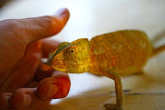Hand and Cute Chameleon Royalty Free Stock Photo