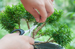 Hand cutting a bonsai tree Stock Photos