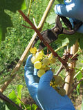 Hand cutting white grapes, harvest time . Tuscany, Italy Royalty Free Stock Image