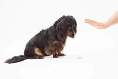 Hand and dachshund Royalty Free Stock Photo