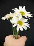 Hand with daisies Stock Photos