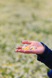Hand with daisies on the field with daisies Stock Image