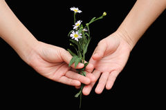 Hand with daisies flower Royalty Free Stock Photo