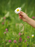 Hand with daisy. Little hand hold white daisy Stock Photo