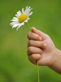 Hand with daisy Stock Photos