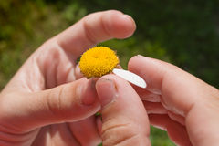 Hand with daisy flower petals Royalty Free Stock Photography
